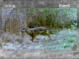 [科技之光]狼犬