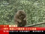 [2016一年又一年]一年又一年·陕西宁陕:国宝金丝猴俏皮灵动迎新春
