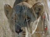 《动物世界》 20160717 狮子群的挑战