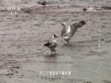 """青海奇观·鸟岛""""不速客"""" 00:24:11"""