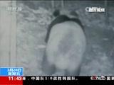 四川成都:监控记录野生大熊猫出没