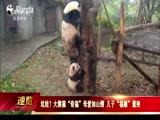 """坑娃?大熊猫""""奇福""""母爱如山倒 儿子""""福顺""""遭殃"""