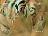 《动物世界》 20170412 老虎女皇的艰辛岁月