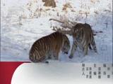 《动物世界》 20170427 圈养狮子放归记(一)