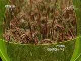 XM两岸纪实_《探索发现》 20180117 稻米帝国(下) 00:36:49