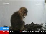 """[新闻直播间]云南大理 """"不速之客"""" 迷路熊猴闯校园"""