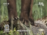 [真相]不靠巨颚尖牙 熊凭借这个武器也能登顶食物链