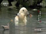 《动物世界》 20180716 探秘冰上的北极熊(下)