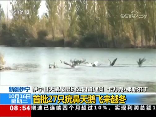 [朝闻天下]新疆伊宁 首批27只疣鼻天鹅飞来越冬