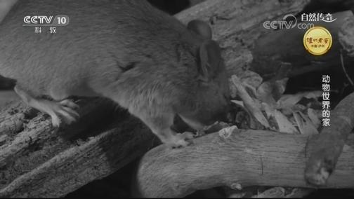 [自然传奇]壕!这种老鼠为存放收藏品不断扩建自己家