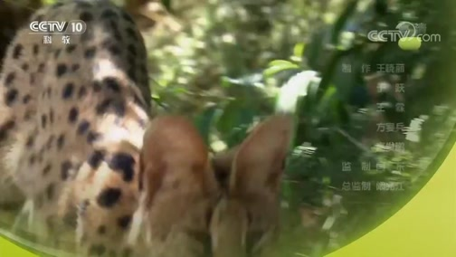 《自然传奇》 20190211 动物的伏击战