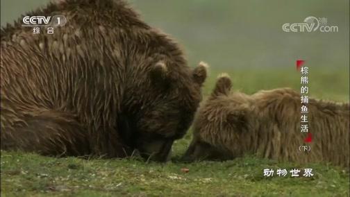 《动物世界》 20190309 棕熊的捕鱼生活(下)