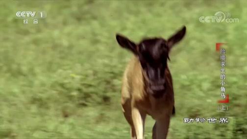 [动物世界]小角马走失二十四小时 母女终团聚 回忆令人心酸