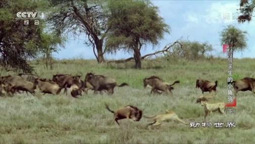 [动物世界]小角马太厉害 三打一丝毫不虚