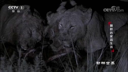 [动物世界]残忍!26头狮子争夺食物 块头大的占尽优势