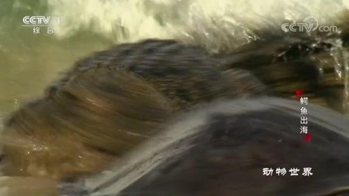 [动物世界]柠檬鲨潜伏 鳄鱼出没 平背龟出行危机四伏
