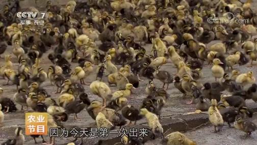 《每日农经》 20190716 敢把蛇踩在脚底的三穗鸭
