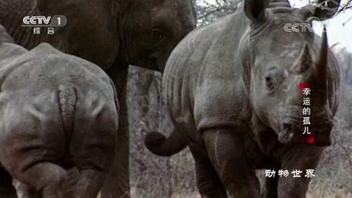 [动物世界]脱离同胞的大象 为弄清自己的地位等级 只能找犀牛比试