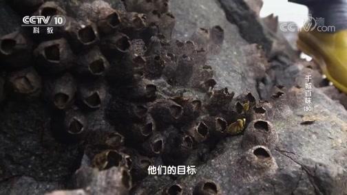 [探索发现]攀附在岩石上的美味生物——藤壶