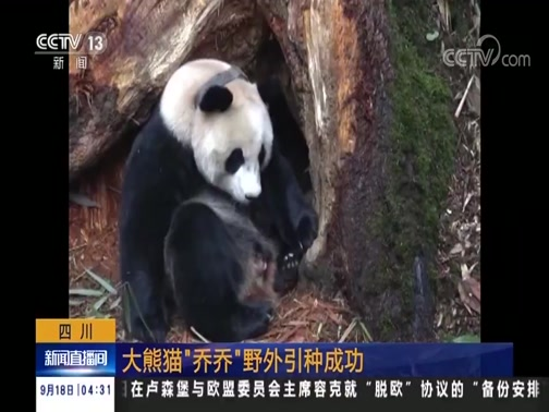 """[新闻直播间]四川 大熊猫""""乔乔""""野外引种成功"""