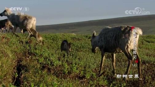 [动物世界]数十万驯鹿勇往直前 否则等待就是生命的终结