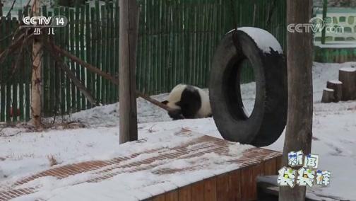 [新闻袋袋裤]黑龙江:亚布力降初雪 熊猫雪中撒欢