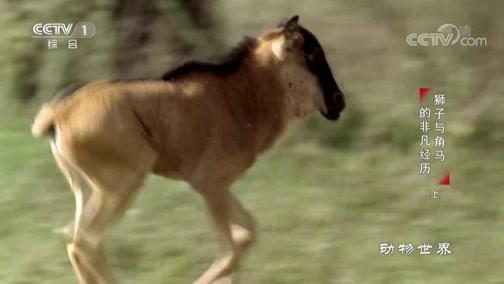 《动物世界》 20200102 狮子与角马的非凡经历(上)
