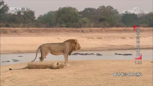 《动物世界》 20200409 驻守河畔的狮群(上)