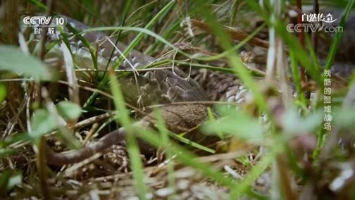 《自然传奇》 20200430 残酷的湿地战场