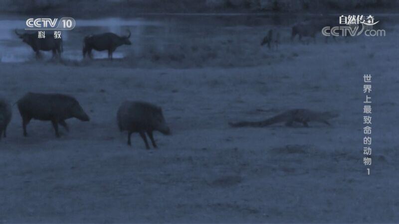 《自然传奇》 20200907 世界上最致命的动物 1