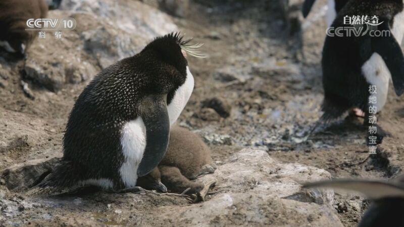 《自然传奇》 20200927 极地的动物宝宝