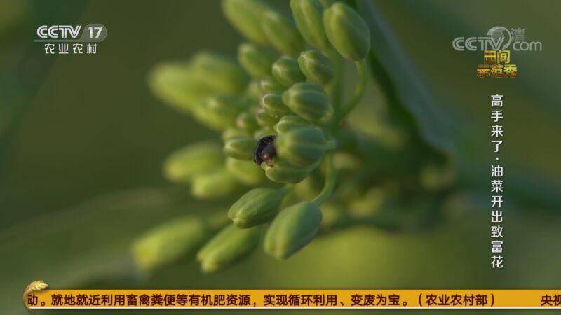 《田间示范秀》 20201007 高手来了·油菜开出致富花