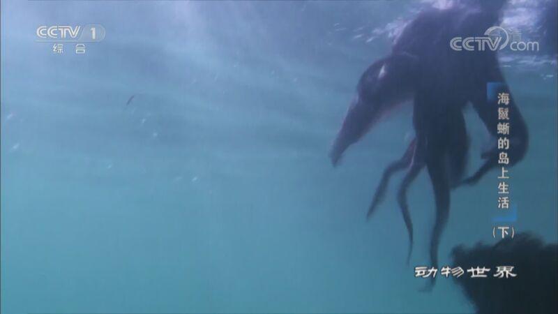 《动物世界》 20201107 海鬣蜥的岛上生活(下)