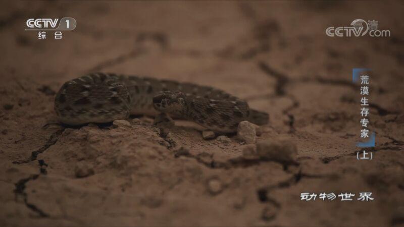 《动物世界》 20201125 荒漠生存专家(上)