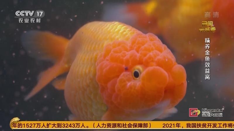 《田间示范秀》 20210108 精养金鱼效益高