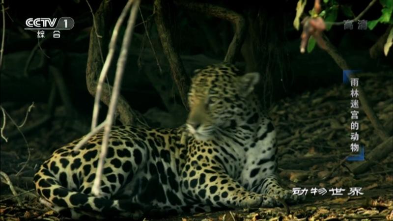 《动物世界》 20210110 雨林迷宫的动物