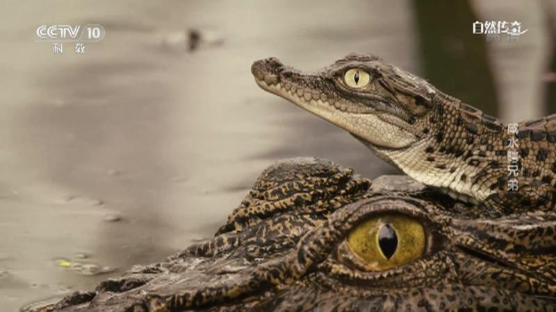 《自然传奇》 20210115 咸水鳄兄弟