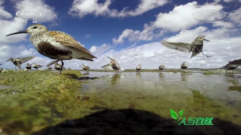 《人与自然》 20210119 博滕海奏鸣曲——鸟儿的欢歌(上)