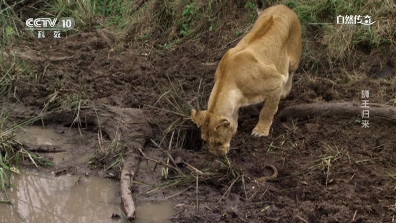 《自然传奇》 20210131 狮王归来