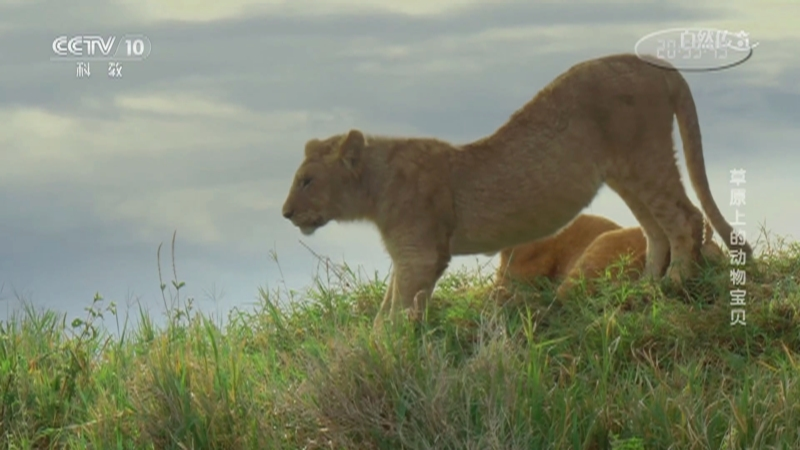 《自然传奇》 20210205 草原上的动物宝贝