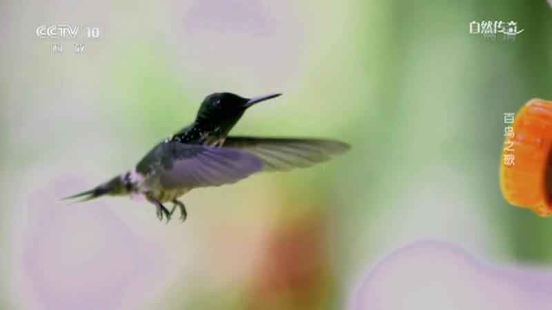 《自然传奇》 20210223 百鸟之歌