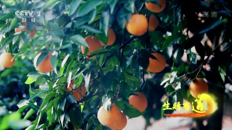 《生财有道》 20210311 乡村振兴中国行——重庆云阳:红橙飘香 幸福味道