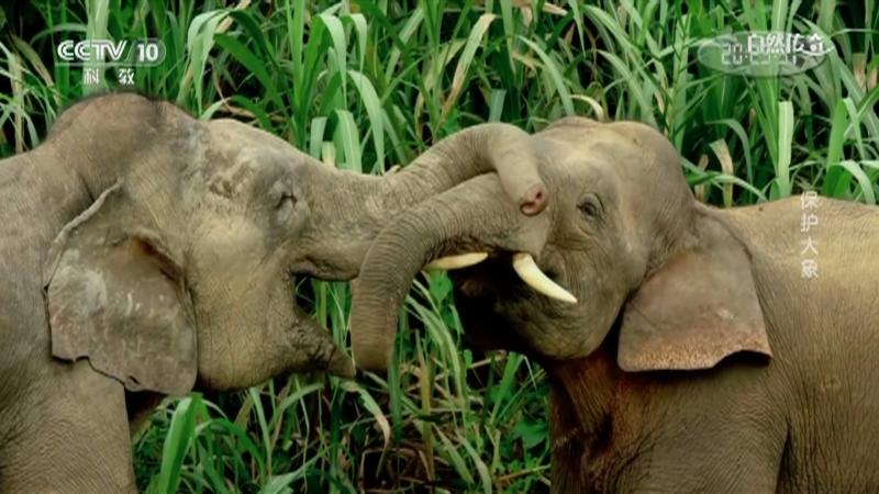 《自然传奇》 20210317 保护大象