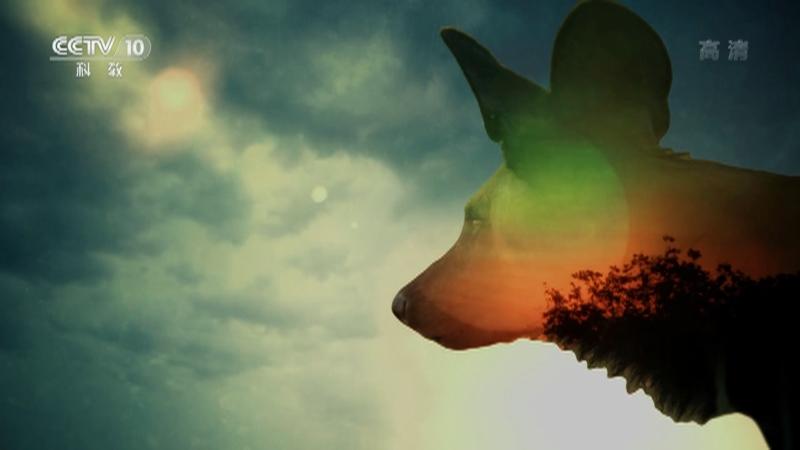 《自然传奇》 20210402 猎手的生活·野犬