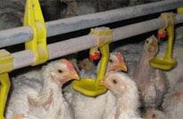 鸡场饮水设备选购与安装