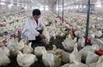<center>科学养鸡 规范免疫</center>