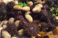 大连旅顺口,出海捕获海参鲍鱼和海胆等水产品。