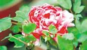 第十九届常熟(尚湖)牡丹花会