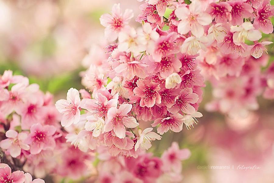 简笔画彩色樱花树