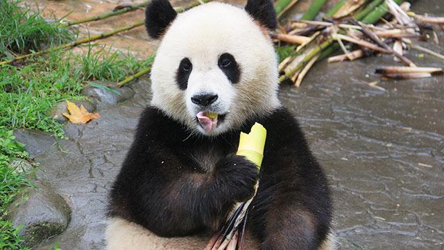 """研究发现大熊猫祖先可能不是""""吃素""""的"""